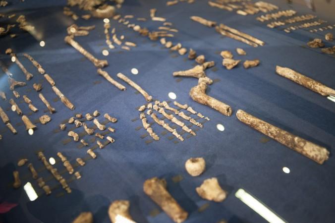نمایش اسکلت هومو نالِدی، گونه جدیدی از اجداد بشر طی مراسم پردهبرداری از آن در ۱۰ سپتامبر ۲۰۱۵، در ماگالیسبرگ واقع در آفریقای جنوبی.
