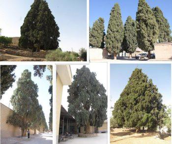 سروهای کهن استان فارس ثبت ملی شد