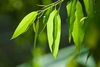 خواص درمانی برگ درخت اوکالیپتوس