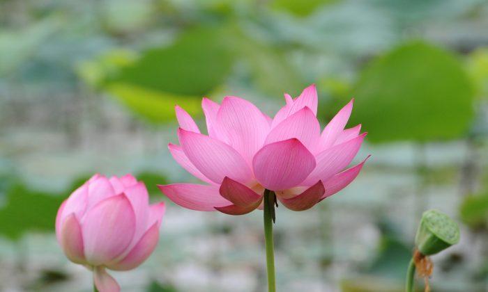 داستانی از چین باستان دو زن به نام لوتوس بوداها اغلب میگویند که همه چیز در این دنیا توهم و ناپایدار است و اینکه خردمندان جهان فریب ظاهر شخص را نمیخورند.