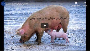 آنفولانزای خوکی بلای جدید چینی