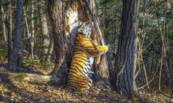 ببر تصویری زیبا از یک ماده ببر سیبری در اعماق جنگلی دور افتاده در روسیه که درختی پیر را در آغوش گرفته، به تازگی موفق به کسب یکی از معتبرترین