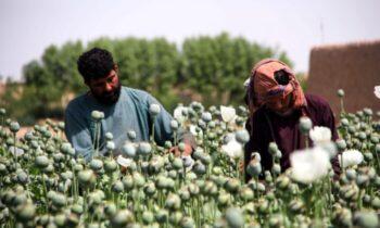 تریاک کارشناسان: طالبان به احتمال زیاد تجارت سودآور مواد مخدر افغانستان را ادامه خواهند داد بزرگترین تأمین کننده مواد مخدر غیرقانونی در